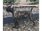 Cane Corso Puppy for sale in Vancouver, WA, USA