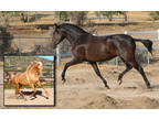 2015 PRE Mare in foal to Palomino Stallion