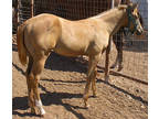 APHA 2019 palomino, blue eyed filly