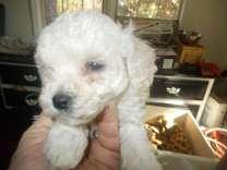 Maltipoo (Maltese-Poodle