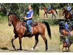 Adopt Sterling-click and read please a Bay Morgan / Mixed horse in Spokane