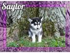 Saylor Female Siberian Husky