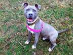 Adopt Spark a Terrier, American Staffordshire Terrier