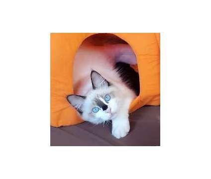 Chip: A playful Seal Ragdoll Kitten is a Male Ragdoll Kitten For Sale in Crystal Lake IL