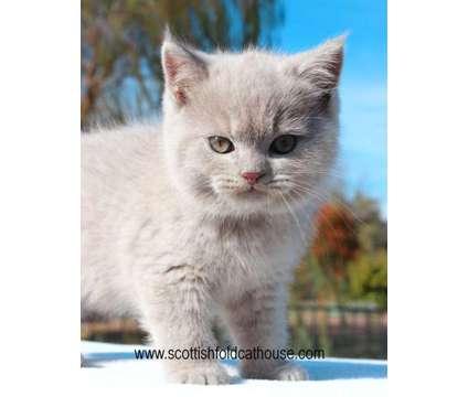 Lilac Scottish fold (straight) male is a Male Scottish Fold Kitten For Sale in Dallas TX