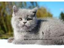 Blue Scottish fold (straight) male