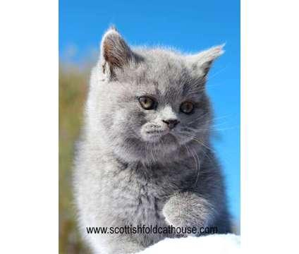 Blue Scottish fold (straight) male is a Blue Male Scottish Fold Kitten For Sale in Dallas TX