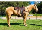 Yeller 11 Year Old Grade Palomino Gelding