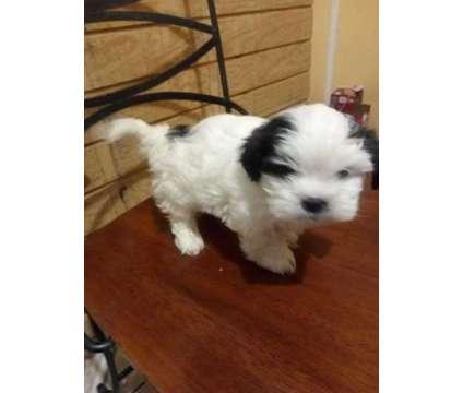 Shih tzu puppies is a Female Shih-Tzu Puppy For Sale in Amarillo TX