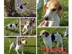 Adopt Perdido a Coonhound
