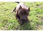 Adopt *BLITZEN a Brindle - with White Mixed Breed (Medium) / Mixed dog in Ocala