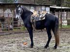 Cross Stallion For Sale