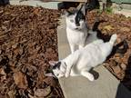 Adopt jiki and her kitten a Black & White or Tuxedo Domestic Shorthair / Mixed