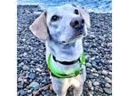 Adopt Gigi a Jack Russell Terrier, Hound