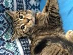 Adopt Raphael a All Black Domestic Shorthair / Mixed (short coat) cat in
