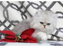 silver cfa kittens chmp bld