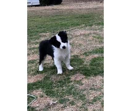 Australian Shepherd puppies for sale is a Male Australian Shepherd For Sale in Plano TX