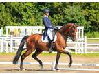 Amateur Friendly or for Professional PSGI1 Dressage Horse