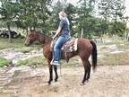 Registered Racking Horse Gentle and Broke