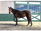Endevour - 8 year old, Quarter Horse Cross, gelding, 15.2 hands, bay
