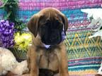 Cane Corso Puppy for sale in Denver, PA, USA