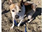 Adopt Edgar a White Rat Terrier / Mixed dog in Kokomo, IN (27416688)