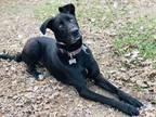Adopt Dandy a Black Great Dane / Labrador Retriever dog in MARYSVILLE