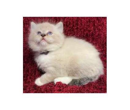TICA Ragdoll Kittens is a Male Ragdoll Kitten For Sale in Fairport NY