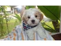 To cute shi tzu maltese pups