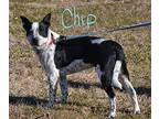 Chip Blue Heeler Young Male