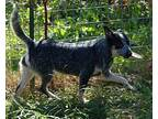 Juliette Cattle Dog Young Female