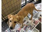 Diablo Labrador Retriever Puppy Male