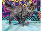 Adopt Ms. Priss a Tortoiseshell Domestic Shorthair (medium coat) cat in Hawk