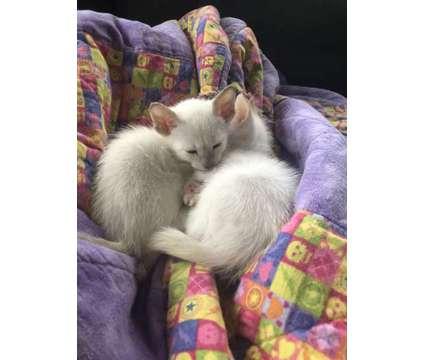 Siamese Kittens is a Siamese Kitten For Sale in Pottstown PA