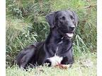 Atlas Labrador Retriever Adult Male