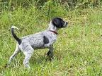 Bella Pointer Puppy Female