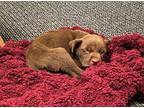 Enoki (Bella's Pup) Labrador Retriever Puppy Male