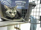 Adopt CHESTER a Brown Tabby Domestic Shorthair / Mixed (short coat) cat in