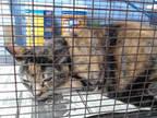 Adopt NEEDS RESCUE a Tortoiseshell Domestic Shorthair / Mixed (short coat) cat