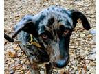 Adopt Sassy a Australian Shepherd, Border Collie