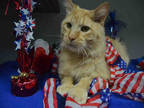Adopt FURBALL a Orange or Red Tabby Domestic Shorthair / Mixed (short coat) cat