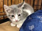 Adopt JASON a Gray, Blue or Silver Tabby Domestic Shorthair / Mixed (short coat)