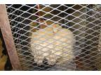 Adopt *ELSA a White Poodle (Miniature) / Mixed dog in Modesto, CA (27601362)