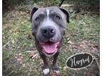 Adopt HAGRID a Pit Bull Terrier
