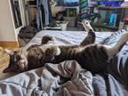Adopt Tabby a Domestic Shorthair / Mixed (short coat) cat in Logan