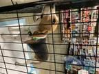 Adopt Luna a Beagle