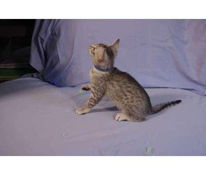 Egyptian Mau Kittens is a Male Egyptian Mau Kitten For Sale in Vallejo CA