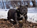 Bulldog Puppy for sale in Waterville, MN, USA