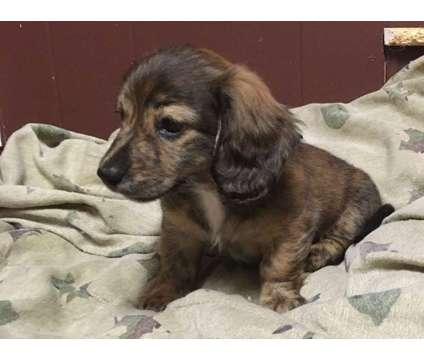 Male brindle mini dachshund is a Male Dachshund Puppy For Sale in Dothan AL