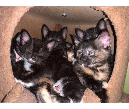 Kittens is a Female, Male Kitten For Sale in Portland OR